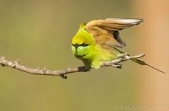 Green Bee-eater  - Ready for take-off. (Vikas.B.Chavan) Tags: nikon 300mm ii tc nikkor afs ifed 17e f4d d7100