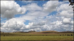 Angus grazing (Denis Fox) Tags: clouds cattle angus dry grazing 2015 denisfox
