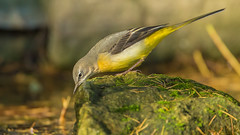 Grey Wagtail-17 (Andrew Haynes Wildlife Images) Tags: