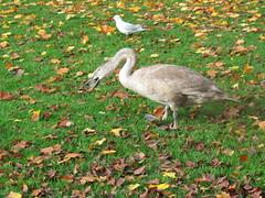 Baby Swan (Uktransportvideos82) Tags: park bird swan feed mute