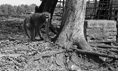 Let me freeeee (mohammed_apu) Tags: wild monkey different wildlife bondage locked