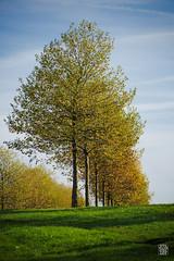 2015-11-08_Q8B4269  Sylvain Collet.jpg (sylvain.collet) Tags: autumn trees france leaves automne leaf arbres sur feuilles marne vairessurmarne vaires