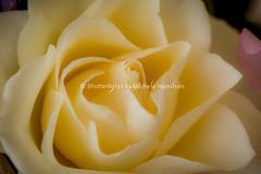 Petals of luscious cream. (Shutterbytes by Michele Hamilton) Tags: flowers roses white macro petals australia dreamy delicate edible southaustralia creamy buttery birthdayflowers november2015 obflat