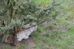 Eurasischer Luchs im Gaia Zoo in Kerkrade (Ulli J.) Tags: netherlands zoo nederland paysbas limburg niederlande kerkrade eurasianlynx eurasischerluchs nordluchs euraziatischelynx lynxdeurasie lynxcommun nederlandene gaiazoo lynxboréal loupcervier europæisklos