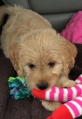 roxie-is-loving-her-new-toys--roxie-is-dakota-and-mavericks-little-girl_18813111149_o