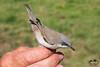 Braamsluiper - Fauvette babillarde (Marc Nollet) Tags: vogelfotografie vogel vogels ringen ringwerk antoine bird birds birdwatcher birding birdringing nollet eendekooi lissewege