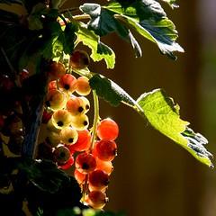 Groseilles du Dévoluy, France (pom.angers) Tags: canoneos400ddigital 2009 july ferrières saintétienneendévoluy dévoluy alpesdusud hautesalpes 05 paca provencealpescôtedazur france europeanunion groseilles fruit gooseberry gooseberries groseille 100 200