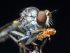 Dinner (adammaniam) Tags: macro robber fly depth field bokeh ngc national geographic insect olympus 60mm