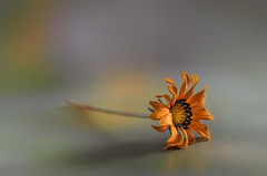 La flor caída / The fallen flower (hequebaeza) Tags: naturalezamuerta stilllife gazania rigens gazaniarigens naranja flor flower nikon d5100 nikond5100 ebcfujinon1450mm fujinon 50mm m42 hequebaeza