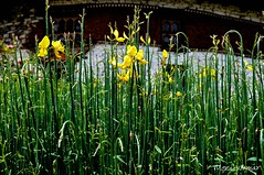 There are always flowers for those who want to see them - Henri Matisse (@mons.always) Tags: flora flowers yellow bhutan 2013 nikon d90 18105mm paro