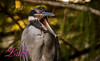 Yellow Crowned Night Heron (lh24smile) Tags: green cay yellow crowned night heron