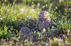Perfect Pair (matthewolsonphoto.com) Tags: owls owl burrowingowl birds birdwatching wildlife animals outdoor florida capecoral