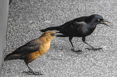 Birds of Walmart (Gabriel FW Koch) Tags: blackbird asphalt parkinglot feet outside wild wildlife feathers eyes nikon p900