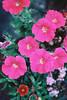 Bright Pink Petunias (Matthew Huntbach) Tags: petunias bright pink