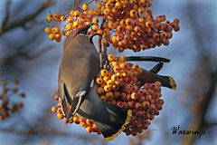 WAXWING /  BOMBYCILLA GARRULUS. (Tom Webzell) Tags: naturethroughthelens