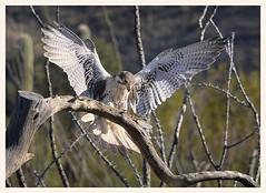 Prairie Falcon (gauchocat) Tags: arizonasonoradesertmuseum tucsonarizona