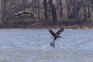 Bald Eagle Picking up Canvasback
