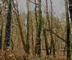Winter/Green (navejo) Tags: berlin germany faulersee wintergreen trees trunks greenery vegetation vines december 2016 navejo