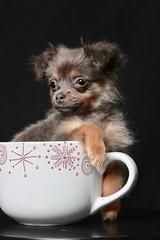 Pomchi (E Cebollero) Tags: homestudio flashphotography littledog pomeranian chihuahua teacup pomchi dogportraits dog