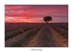 Villaviciosa de Tajuña... (Canconio59) Tags: villaviciosadetajuña brihuega guadalajara sunset ocaso lavanda campos flor cielo sky nubes clouds