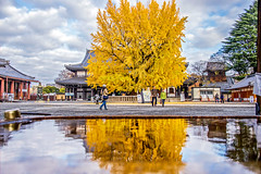 Nishi Hongan Temple (Jennifer 真泥佛) Tags: 銀杏 西本願寺 京都 kyoto japan autumn nikon nikond4s 日本風景 日本風景圖庫 image