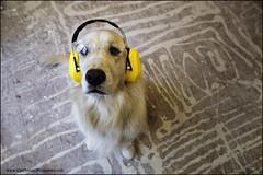 "3-52 ""hug contractor"" (Dave (www.thePhotonWhisperer.com)) Tags: contractor floor renovation dog goldenretriever golden 52weeksforbruno 52weeksfordogs"