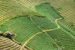 Argapura (Erwin Mulyadi) Tags: sawah pattern argapura