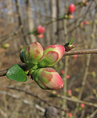 flowering quince - new buds (Vicki's Nature) Tags: floweringquince buds pink january winter foty vickisnature yard georgia canon s5 3741 shrub