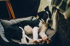 Lou (mripp) Tags: dog animal animals tiere tier haustier pet leica m9 summilux 50mm