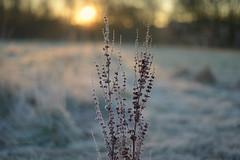 Winter Walks.. (KissThePixel) Tags: flora winterflora winterscene sunrise nikon frosty frost january winter morning nikondf f18 nikkor 50mm