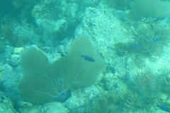 39. Blue fish (Misty Garrick) Tags: johnpennekamp johnpennekampreef johnpennekampcoralreefstatepark coralreef florida keylargofl keylargo floridakeys atlanticocean
