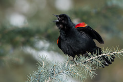 Red-Winged Blackbird (Jesse_in_CT) Tags: redwingedblackbird nikon200500mm