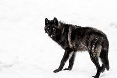 Black Wolf (janet.capling) Tags: black wolf blackwolf snow winter parc omega eyes fur