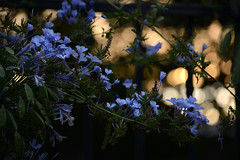 Sunset Plumbago (Ptolemy the Cat) Tags: sunset bokeh plumbago garden nature flowers nikond600 nikonf355628300mmlens