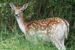 Daine (Passion Animaux & Photos) Tags: daim daine fallow deer doe parc auxois france