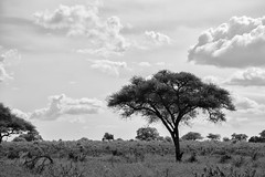 The Elephants of Tarangire National Park (virtualwayfarer) Tags: tarangirenationalpark tarangire nationalpark wildlife animals wild safari adventuresafari photosafari canon dslr decembersafari tanzania africa tanzanian blackandwhite blackandwhitephotography subsahara subsaharanafrica eastafricariftvalley riftvalley loneacacia loneacaciatree elephant mammal elephants wildelephant beautifulelephant herd family familyofelephants africanelephant endangered dramaticlandscape opensky wideopen nature natgeoinpsired nationalgeographicinspired alexberger safariphotos adventuretravel solotravel travelinspiration photographyinspiration