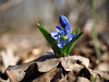 Snowdrop first blue flower at sun going up (mironenko1990) Tags: snowdrop blue power green nature background beautiful spring flower fresh sun plant bright closeup leaf color beauty macro forest petal bloom blossom elegant still siberian march squill scylla bluebell
