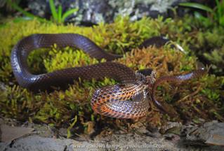 portrait: golden-crowned snake