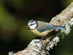 Blue Tit (Colin Rigney) Tags: blue ireland nature birds garden tit wildlife perch bluetit gardenbirds irishwildlife canoneos7d enniskerrycowicklow irishgardenbirds colinrigney