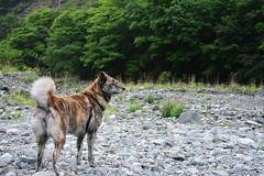 gone fishing (dog's age) Tags: dog mountain zoe mutt mix fishing stream tiny flyfishing trout akita yamame k9 flickrdogs brindledog brindleakita