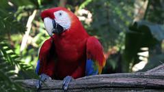 Ara chloropterus - Arara vermelha (Rubens.Campos) Tags: bird paran brasil pssaro araravermelha arachloropterus