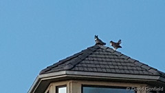 September 15, 2015 - Two owls hang out on a Broomfield house. (David Canfield)