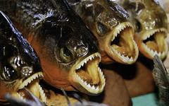 Piranha-caj (Gabriel Castaldini) Tags: brazil brasil manaus piranha norte amazonas amaznia riosolimes gabrielcastaldini piranhacaj