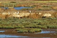 pecore e garzette (ANNA ALESI) Tags: sardegna italy italia pecore oristano pascolo garzette zoneumide stagni mediocampidano santantoniodisantadi
