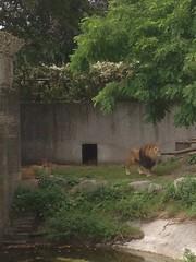 241/365 Lion Family Life