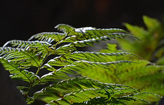 Redwood Forest (simpsongls) Tags: park plant green forest leaf pattern outdoor foliage vegetation ferns frawn garrapat
