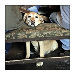 Chin rest.... (PAUL Y-D) Tags: dog pub labrador
