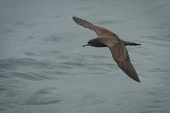 Wedge-tailed Shearwater (Lacewing!) Tags: wildlife watching sydney australia nsw whale puffinuspacificus