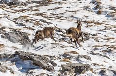 _15B2223-Modifica (gabrielecristiani) Tags: neve luoghi sequenza camoscio mammiferi altreparolechiave