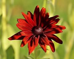 mahogony sunshine (Suzie Noble) Tags: flower garden rudbeckia strathglass struy mahogonyrudbeckia